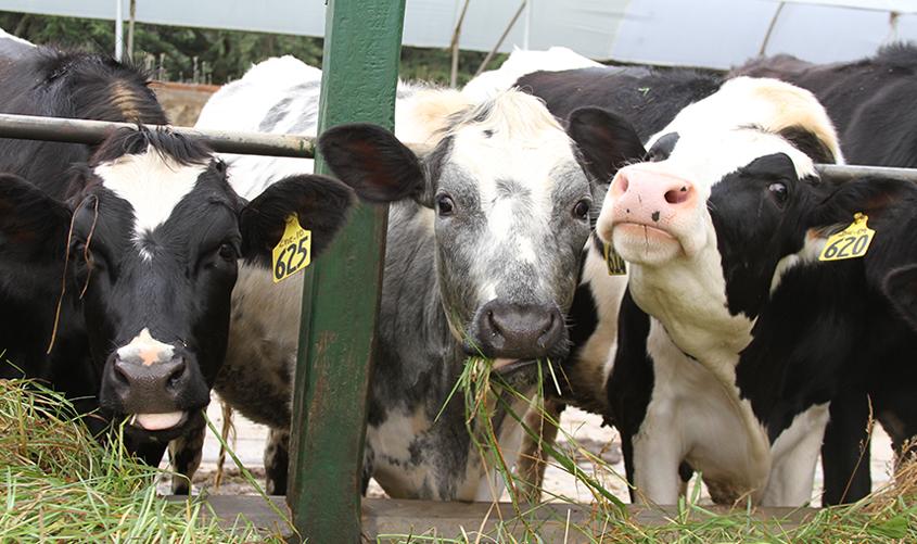 La clasificación de un hato de ganado vacuno